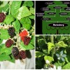 The Lineage of the Marionberry