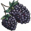 Oregon Marionberries